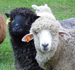 Pirate sheep 1